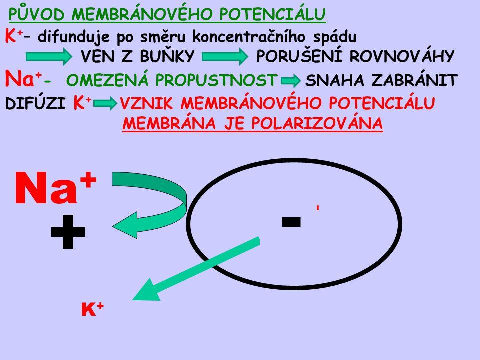 + - Na+ K+ Na+- OMEZENÁ PROPUSTNOST SNAHA ZABRÁNIT