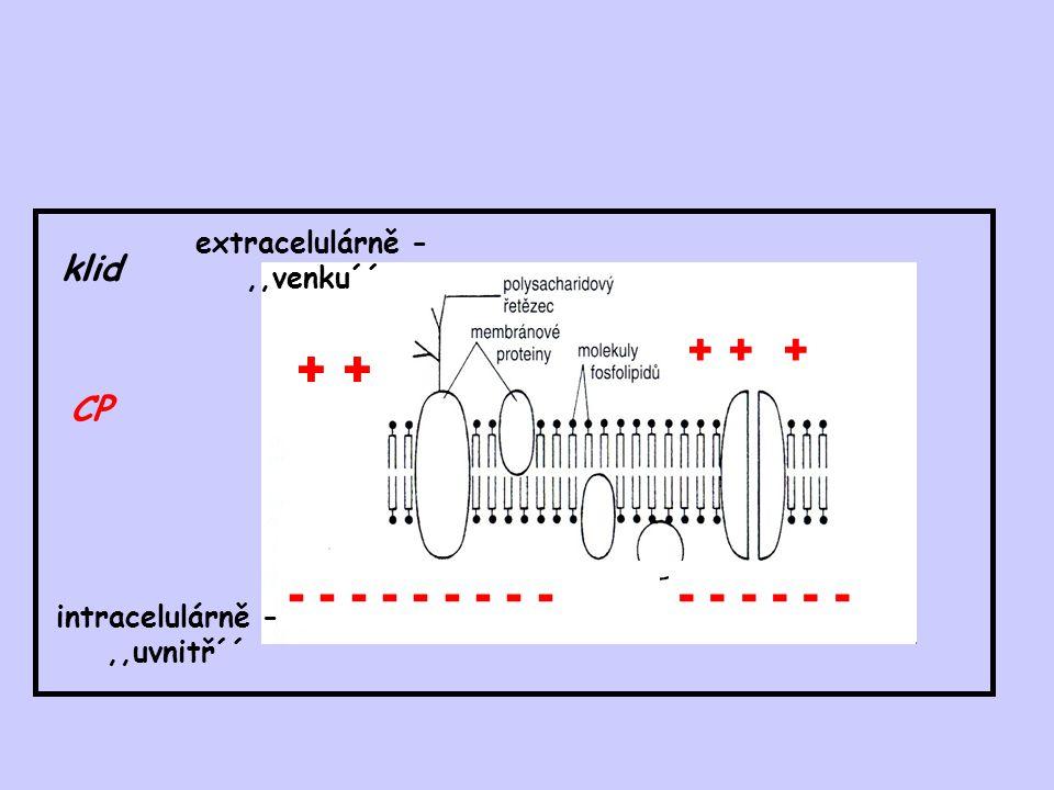 + + - - - - - - - - - - - - - - - + + + klid CP extracelulárně -