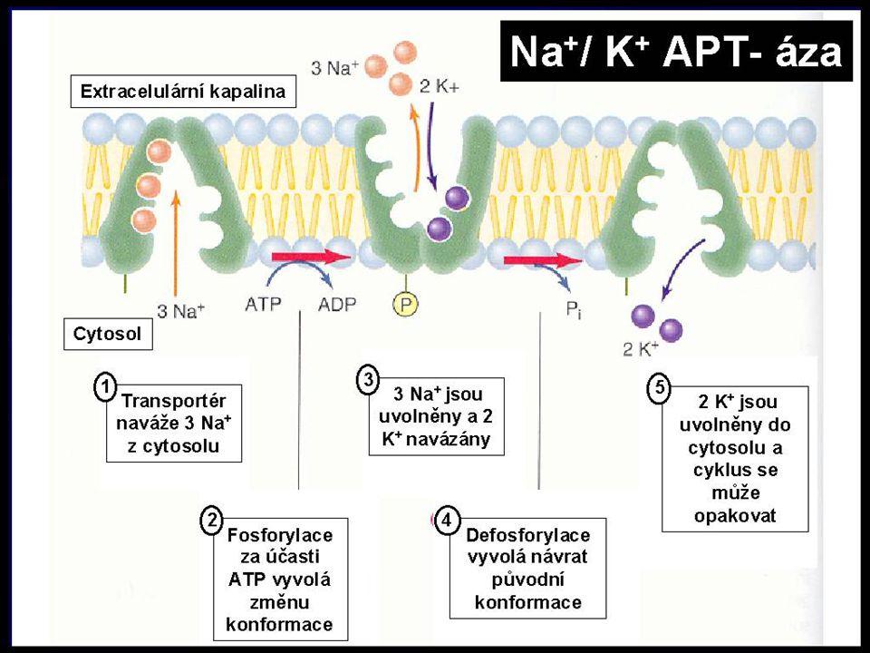 Na-K pumpa: za spotřeby 1ATP se přes membránu přenesou 3 ionty Na+ ven a 2 ionty K+ dovnitř buňky.