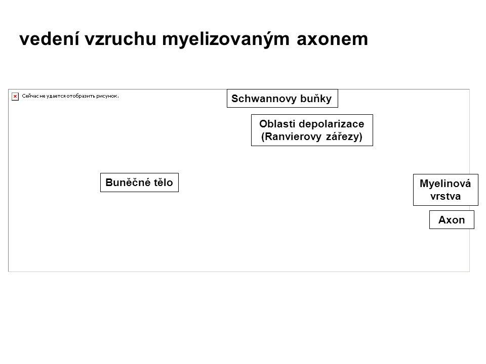 Oblasti depolarizace (Ranvierovy zářezy)