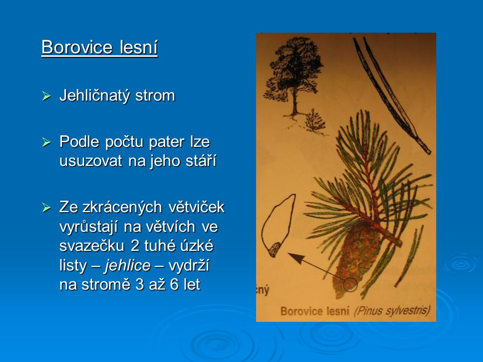 Borovice lesní Jehličnatý strom