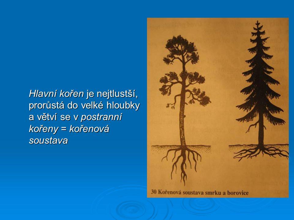Hlavní kořen je nejtlustší, prorůstá do velké hloubky a větví se v postranní kořeny = kořenová soustava