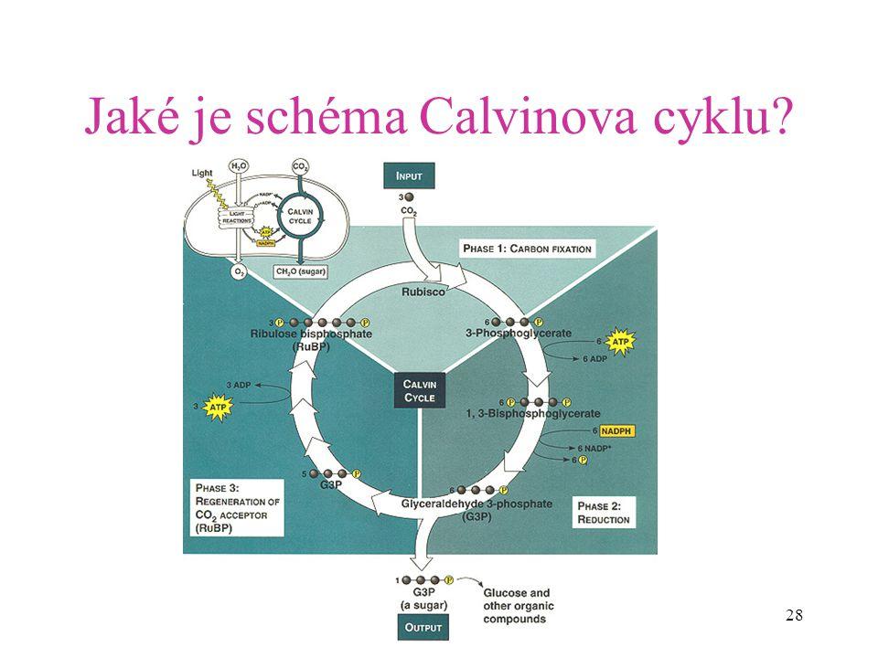 Jaké je schéma Calvinova cyklu