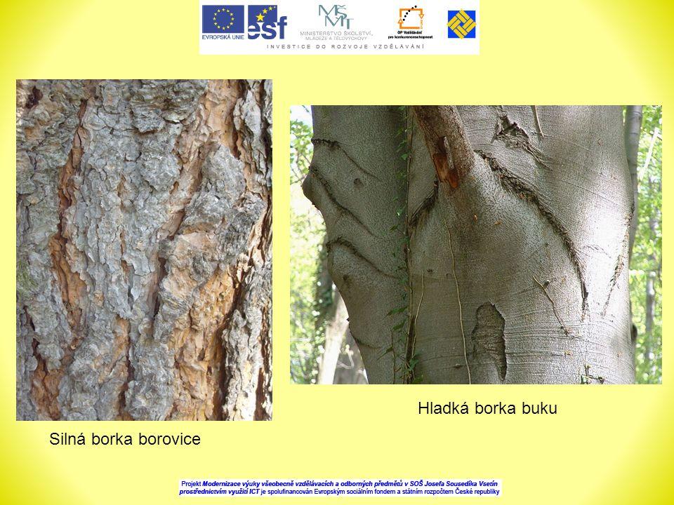 Hladká borka buku Silná borka borovice
