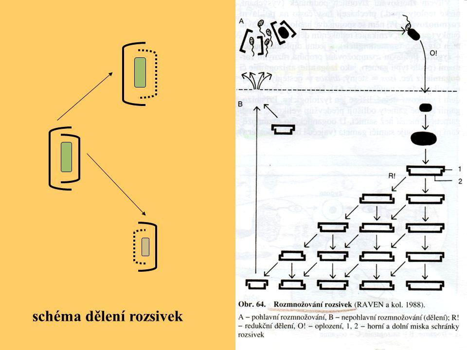 schéma dělení rozsivek