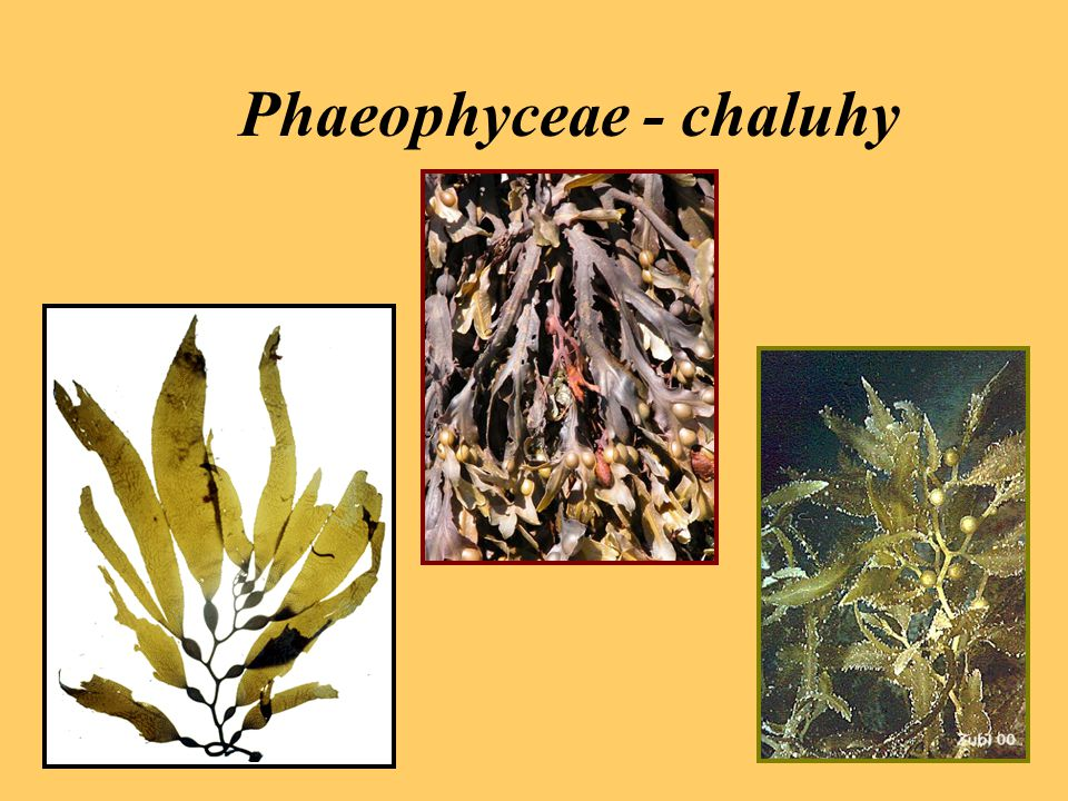 Phaeophyceae - chaluhy