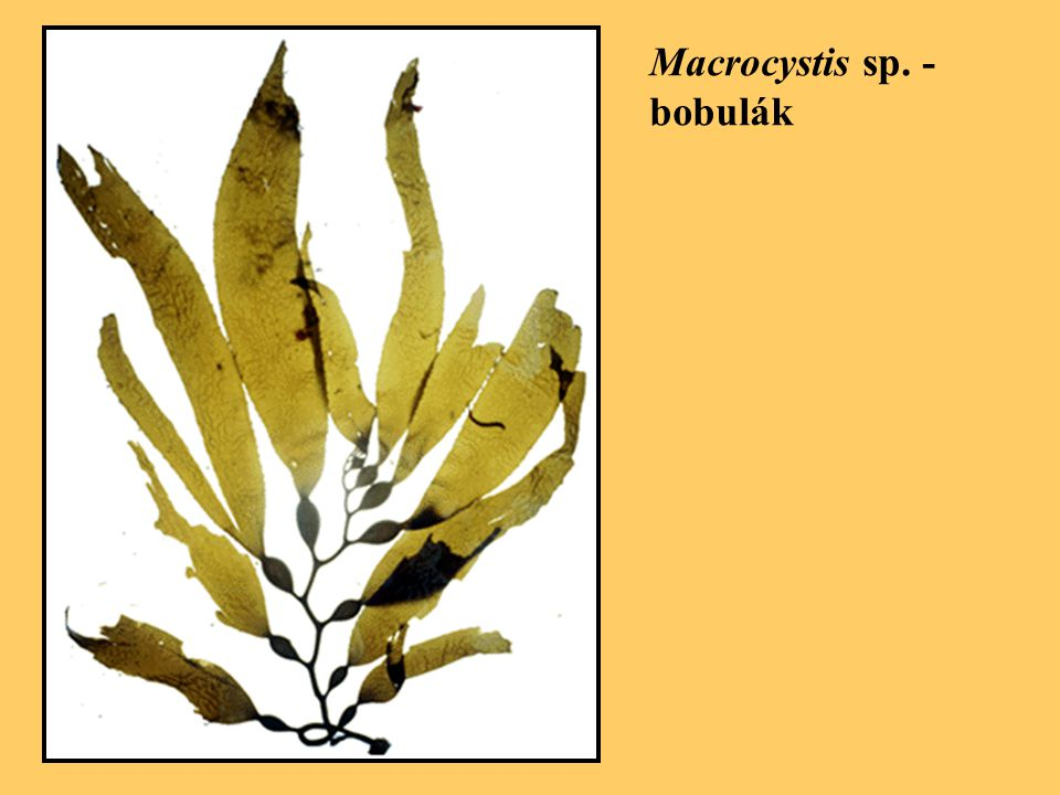 Macrocystis sp. - bobulák
