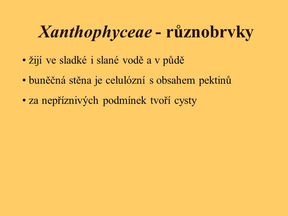 Xanthophyceae - různobrvky