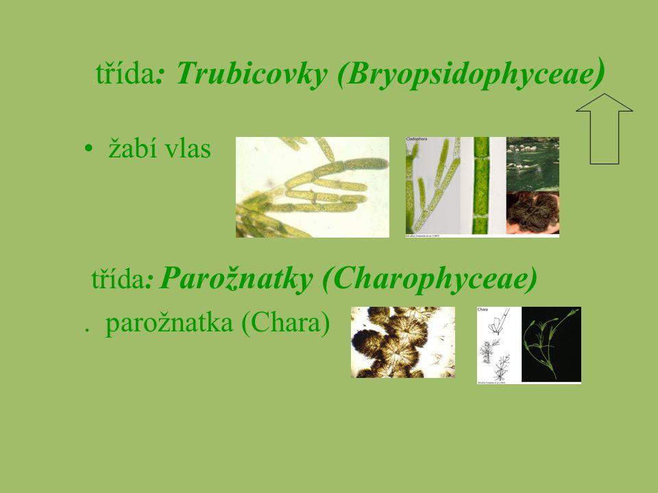 třída: Trubicovky (Bryopsidophyceae)