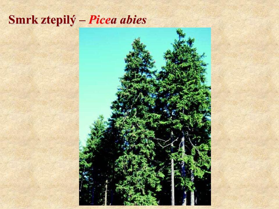 Smrk ztepilý – Picea abies