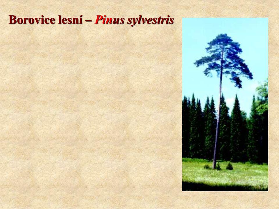 Borovice lesní – Pinus sylvestris