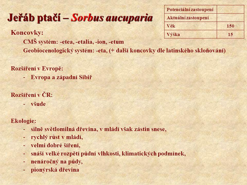 Jeřáb ptačí – Sorbus aucuparia