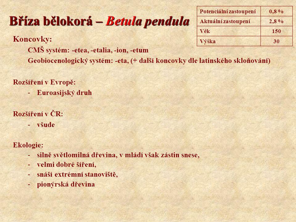 Bříza bělokorá – Betula pendula