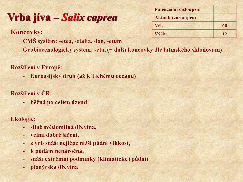 Vrba jíva – Salix caprea