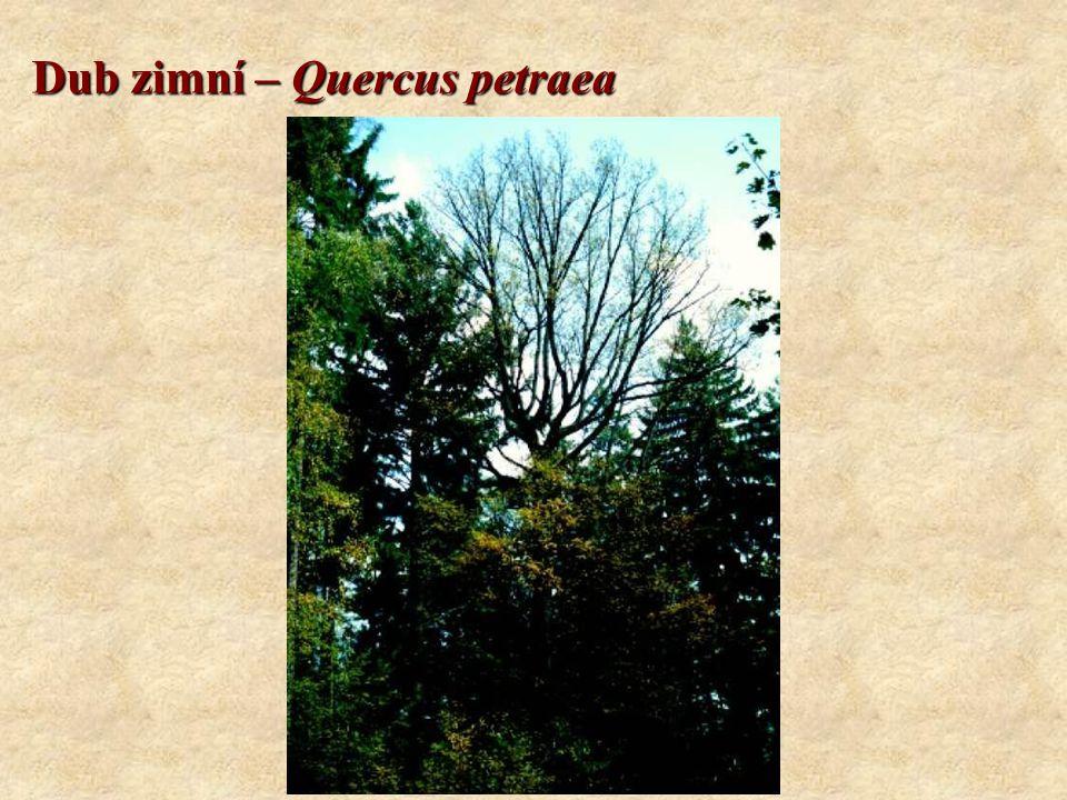 Dub zimní – Quercus petraea