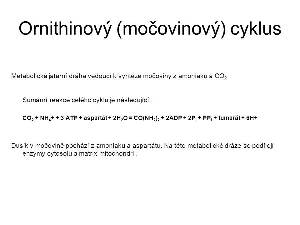 Ornithinový (močovinový) cyklus