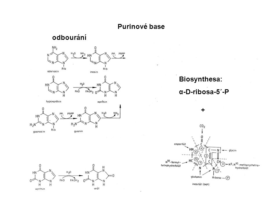 Purinové base odbourání Biosynthesa: α-D-ribosa-5´-P +
