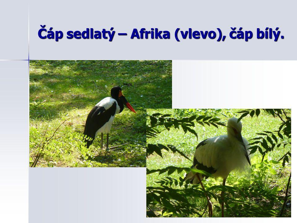 Čáp sedlatý – Afrika (vlevo), čáp bílý.
