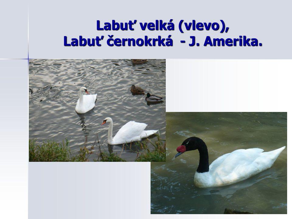 Labuť velká (vlevo), Labuť černokrká - J. Amerika.