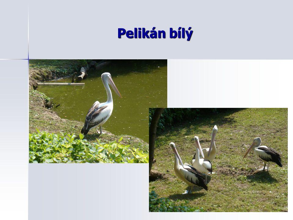 Pelikán bílý