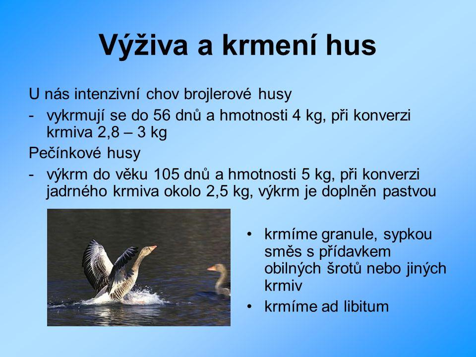 Výživa a krmení hus U nás intenzivní chov brojlerové husy
