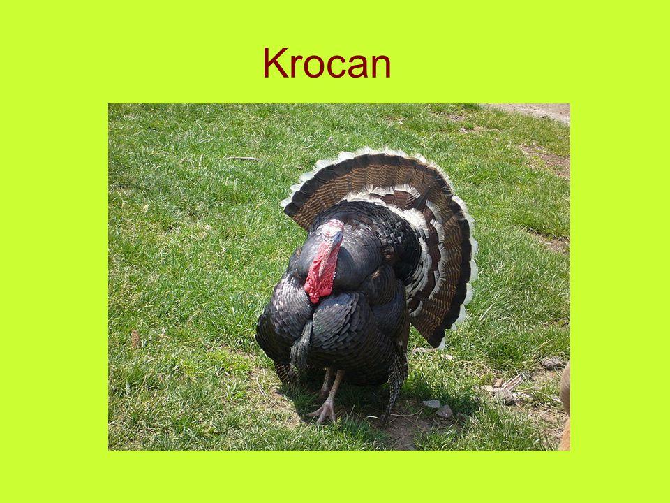 Krocan