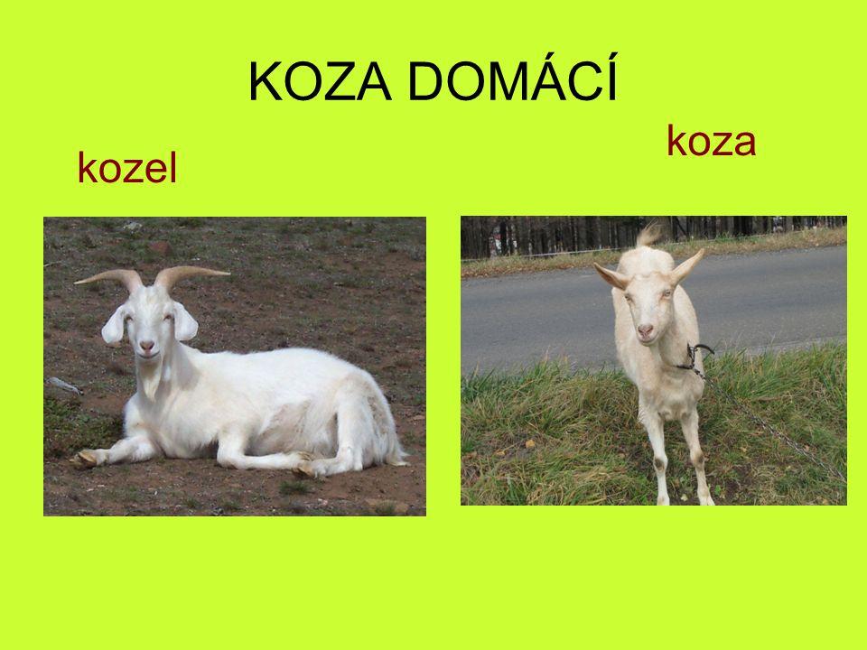 KOZA DOMÁCÍ koza kozel