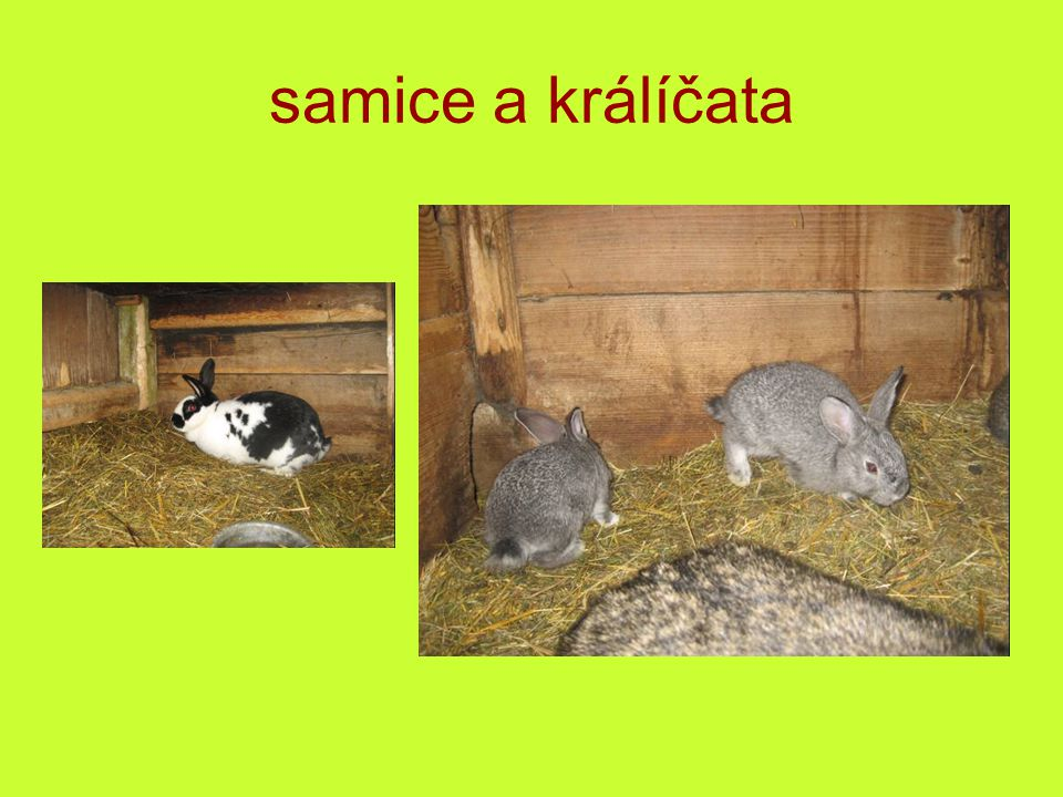 samice a králíčata