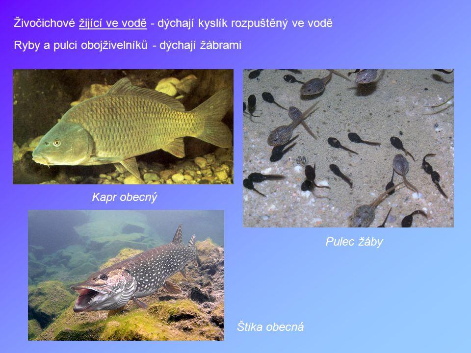 Živočichové žijící ve vodě - dýchají kyslík rozpuštěný ve vodě