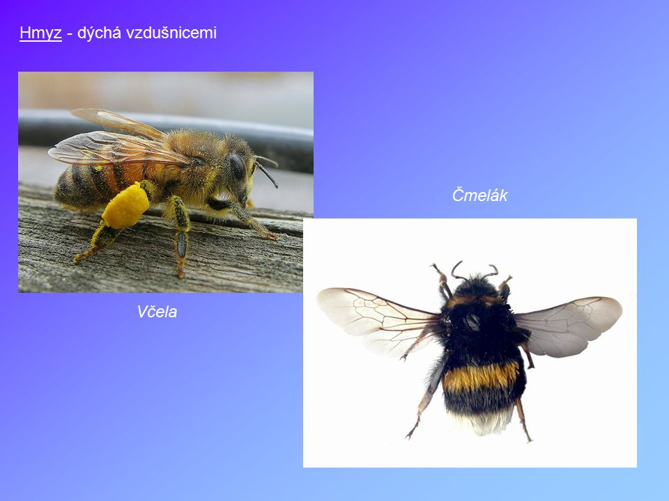 Hmyz - dýchá vzdušnicemi