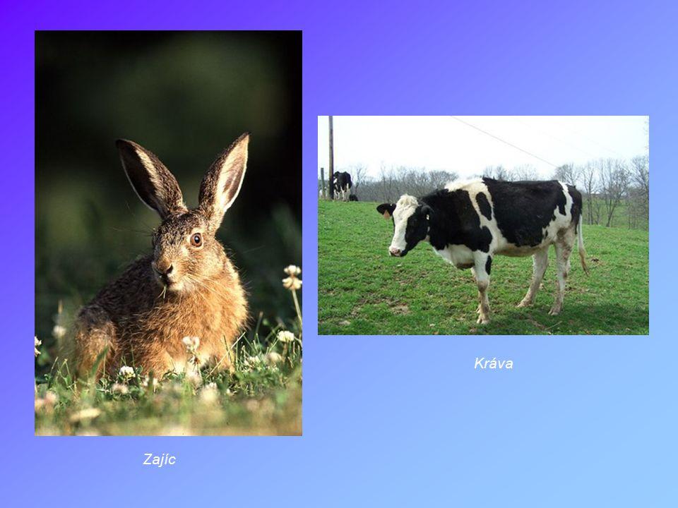 Kráva Zajíc