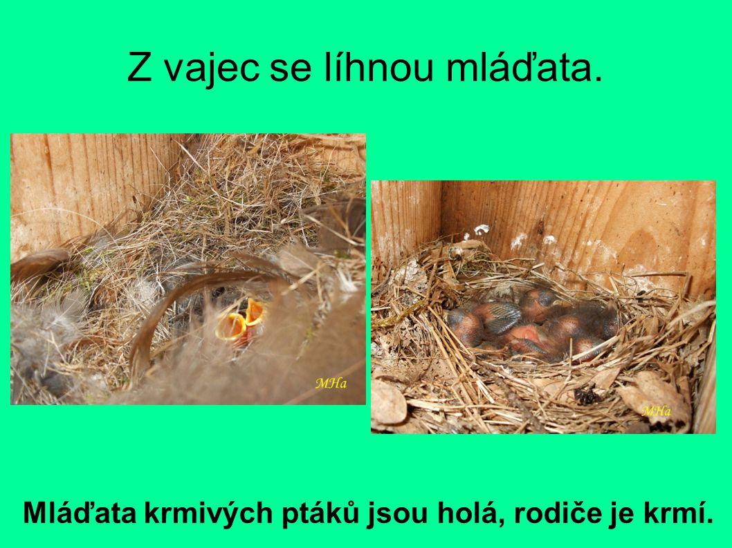 Z vajec se líhnou mláďata.