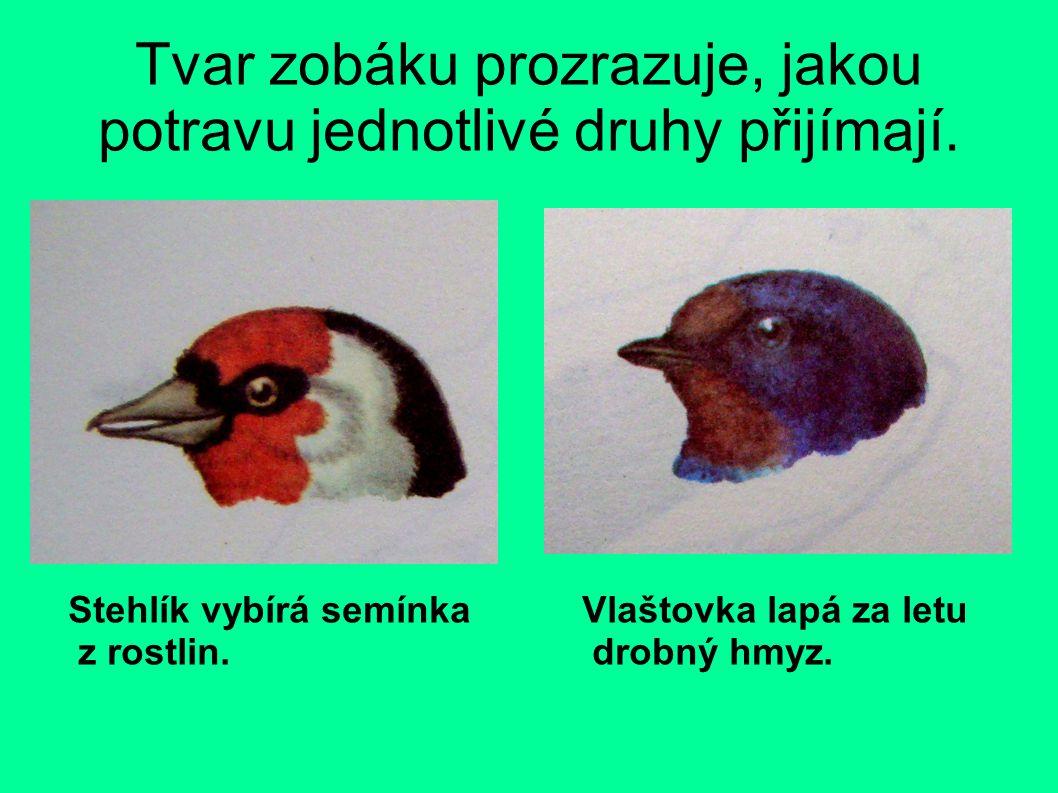Tvar zobáku prozrazuje, jakou potravu jednotlivé druhy přijímají.