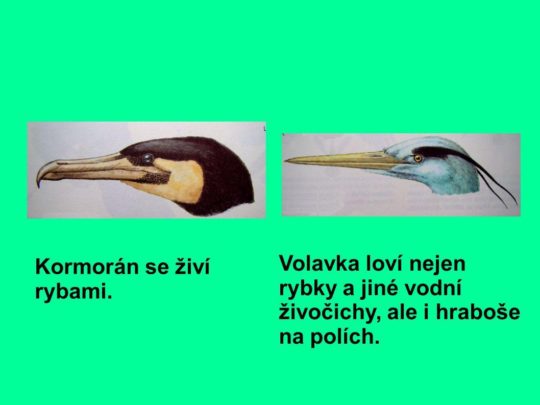 Kormorán se živí rybami. Volavka loví nejen rybky a jiné vodní živočichy, ale i hraboše na polích.