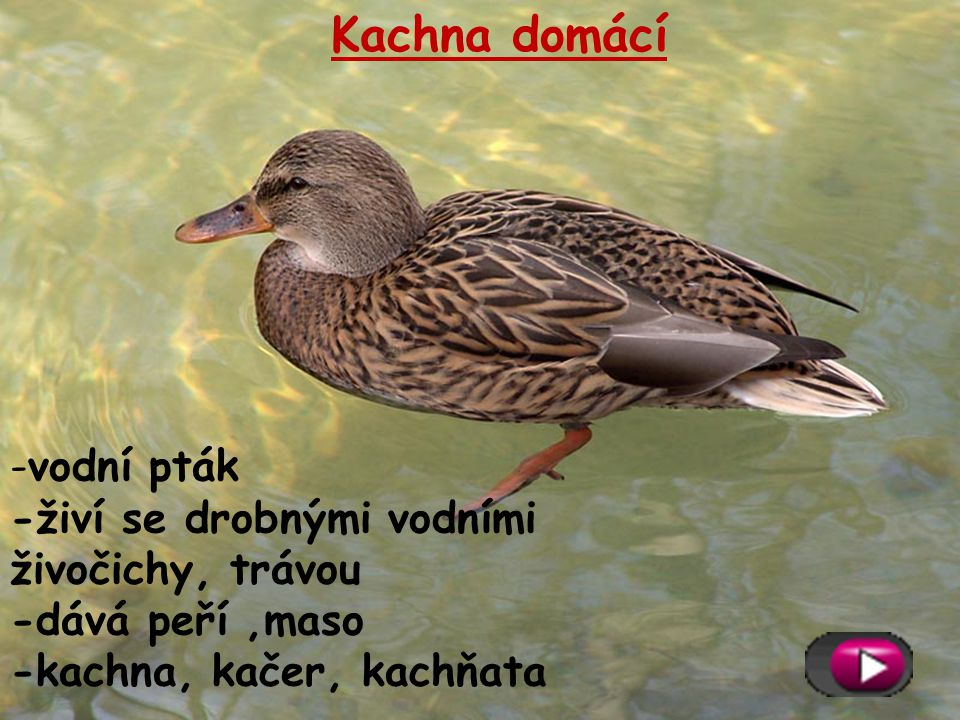 Kachna domácí vodní pták -živí se drobnými vodními živočichy, trávou