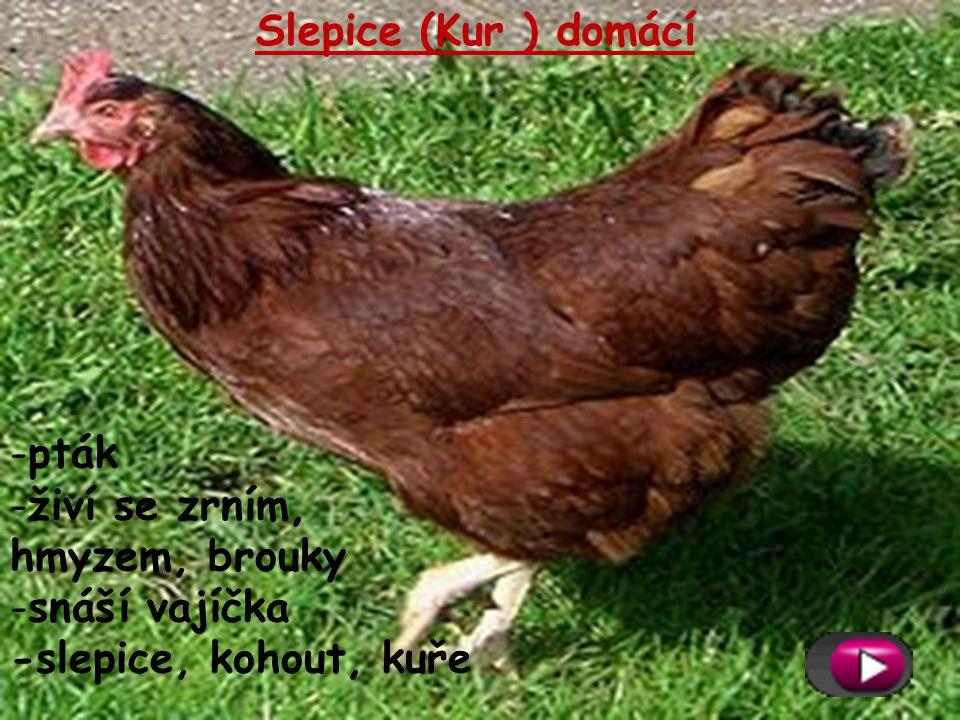 Slepice (Kur ) domácí pták živí se zrním, hmyzem, brouky snáší vajíčka -slepice, kohout, kuře