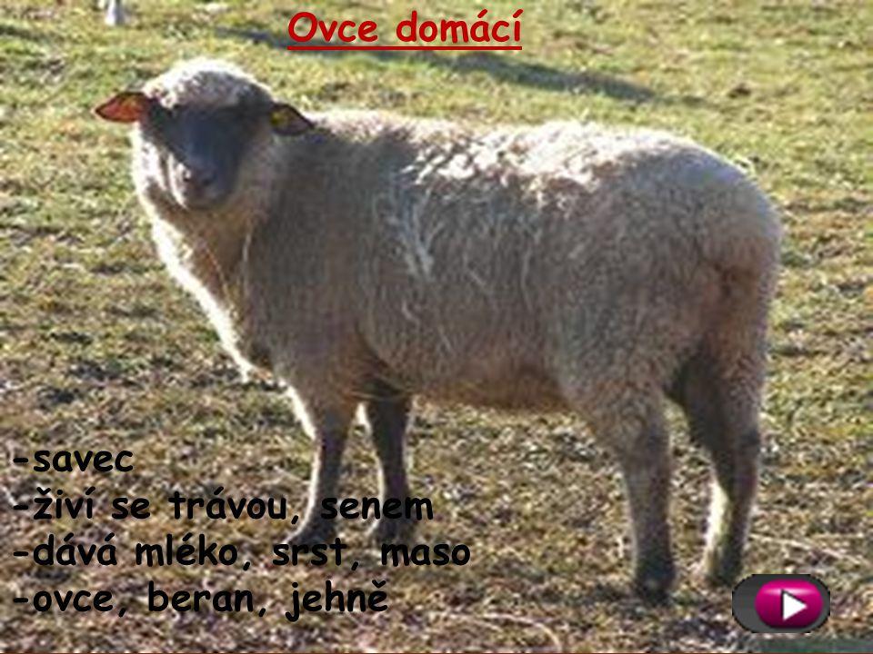 Ovce domácí -savec -živí se trávou, senem -dává mléko, srst, maso -ovce, beran, jehně