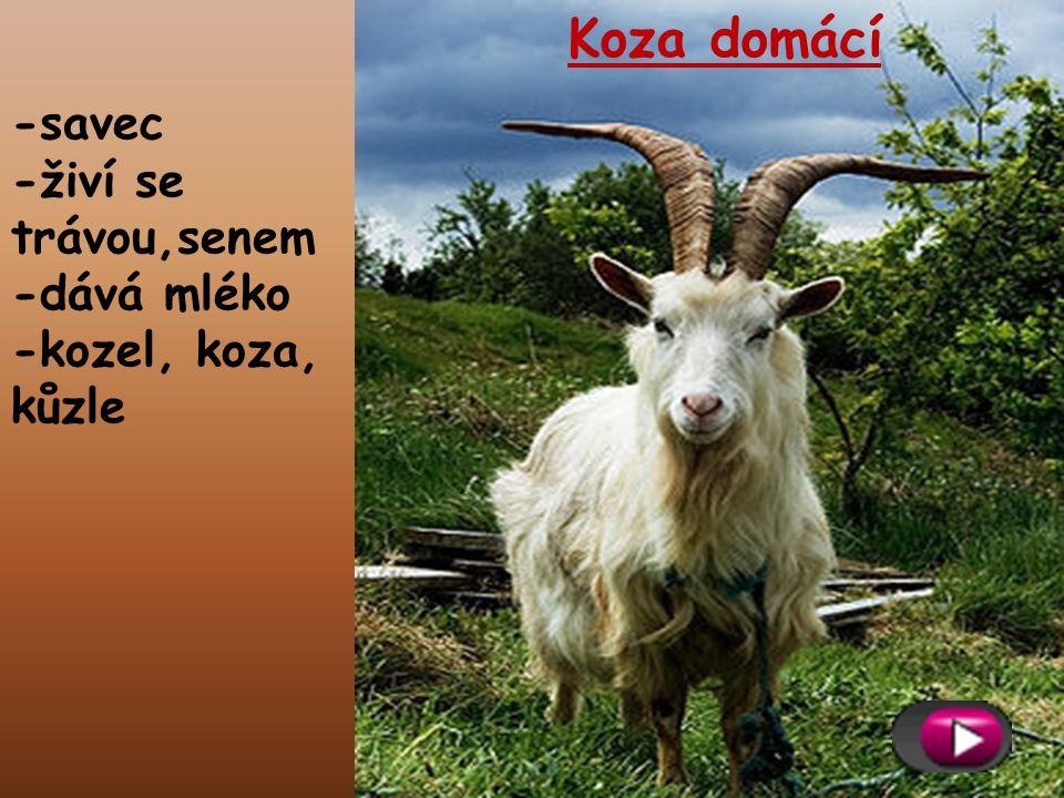 Koza domácí -savec -živí se trávou,senem -dává mléko
