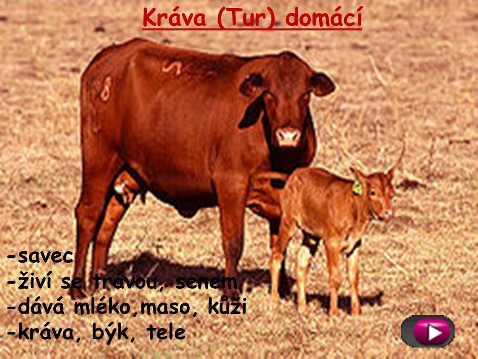 Kráva (Tur) domácí -savec -živí se trávou, senem