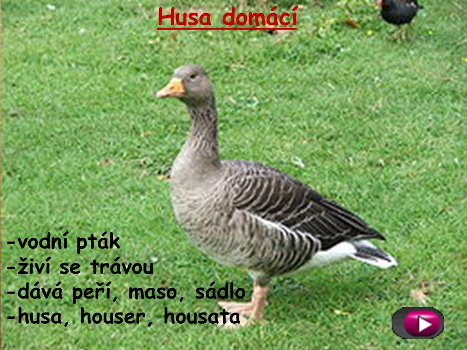 Husa domácí -vodní pták -živí se trávou -dává peří, maso, sádlo