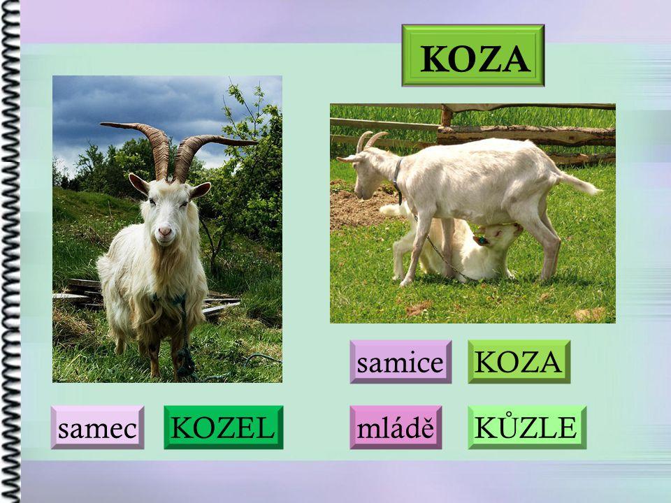 KOZA samice KOZA samec KOZEL mládě KŮZLE