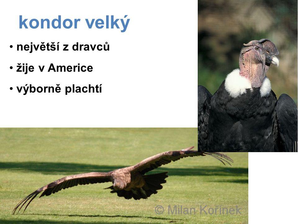 kondor velký největší z dravců žije v Americe výborně plachtí