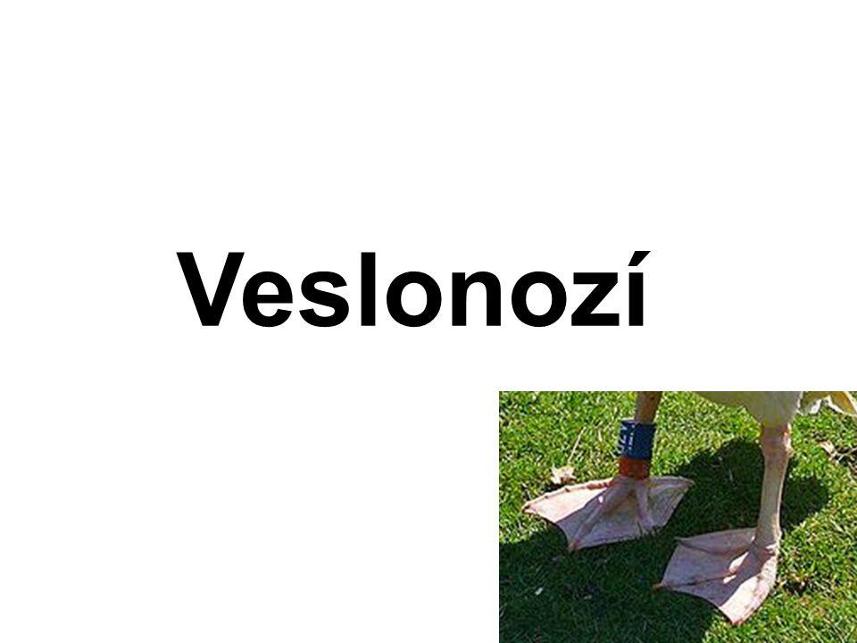 Veslonozí 5