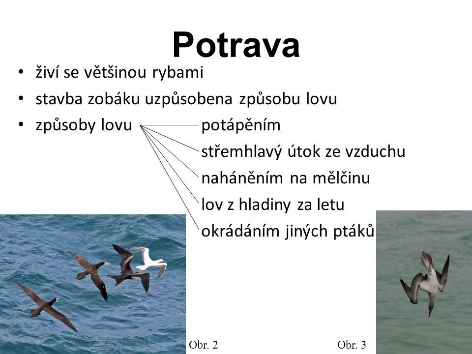 Potrava živí se většinou rybami stavba zobáku uzpůsobena způsobu lovu