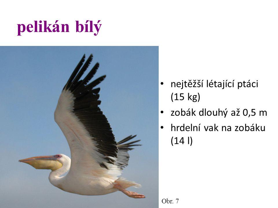 pelikán bílý nejtěžší létající ptáci (15 kg) zobák dlouhý až 0,5 m