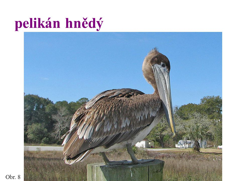 pelikán hnědý Obr. 8 9
