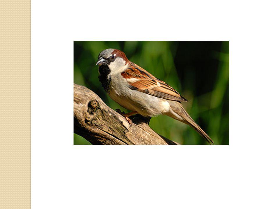 Vrabec domácí 16