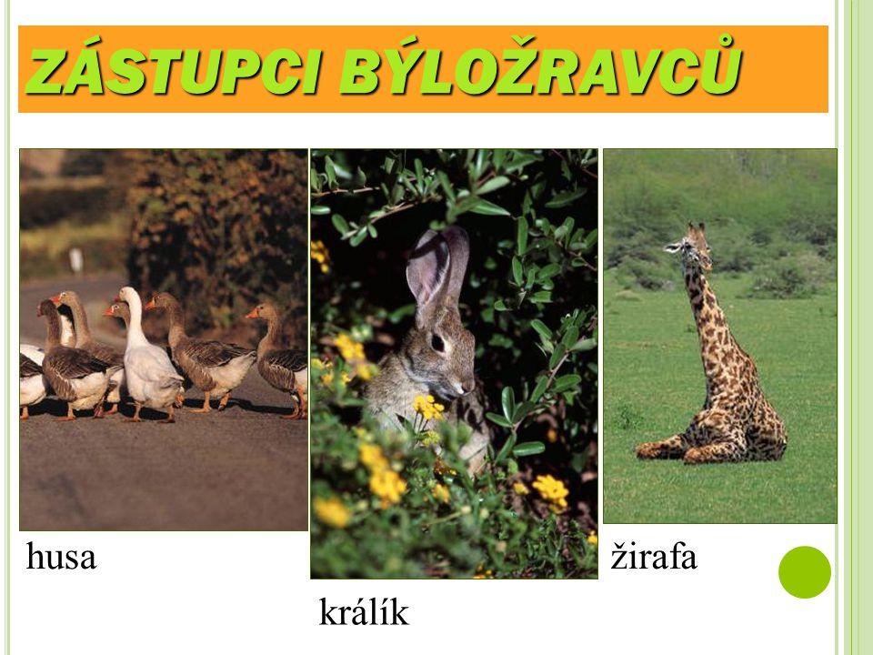 ZÁSTUPCI BÝLOŽRAVCŮ husa žirafa králík
