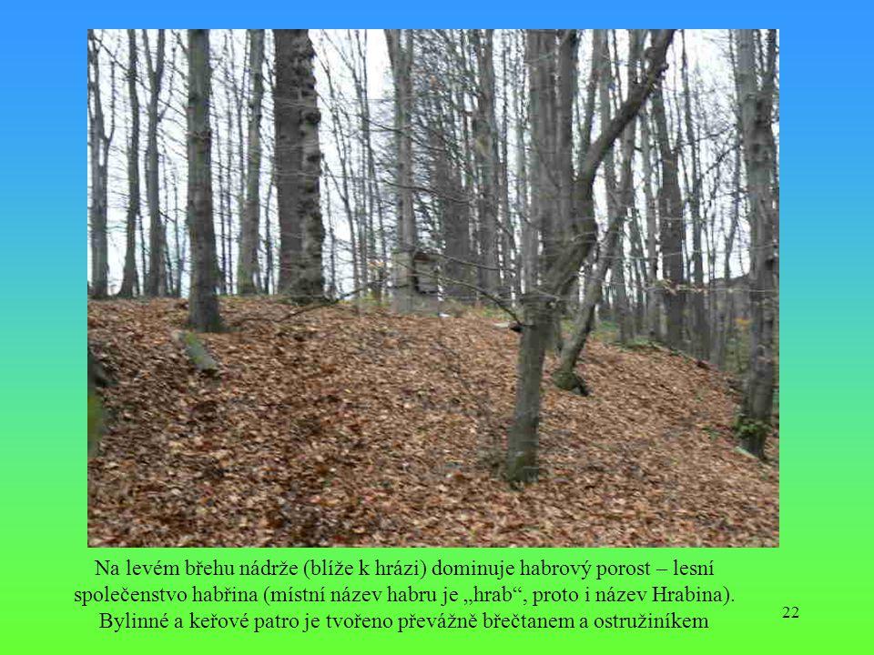 """Na levém břehu nádrže (blíže k hrázi) dominuje habrový porost – lesní společenstvo habřina (místní název habru je """"hrab , proto i název Hrabina)."""
