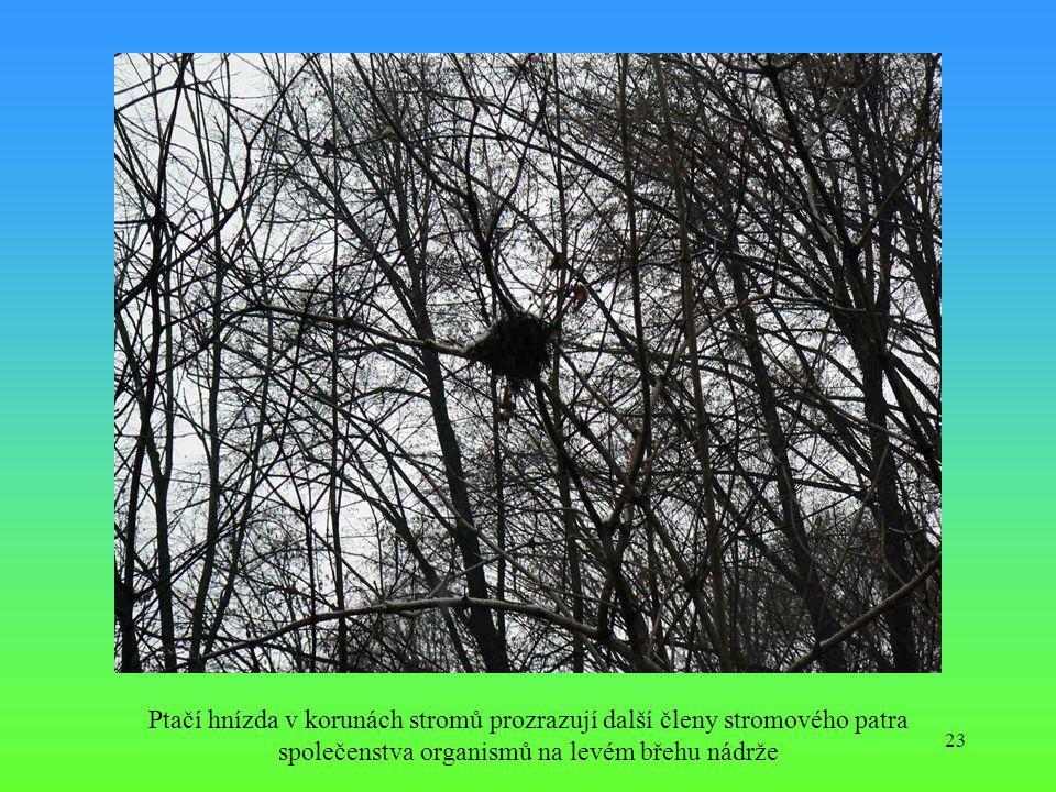 Ptačí hnízda v korunách stromů prozrazují další členy stromového patra společenstva organismů na levém břehu nádrže